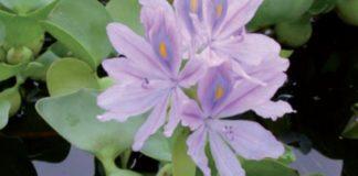 giacinto d'acqua fiore