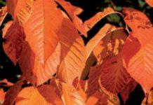 alberi e arbusti colorati faggio