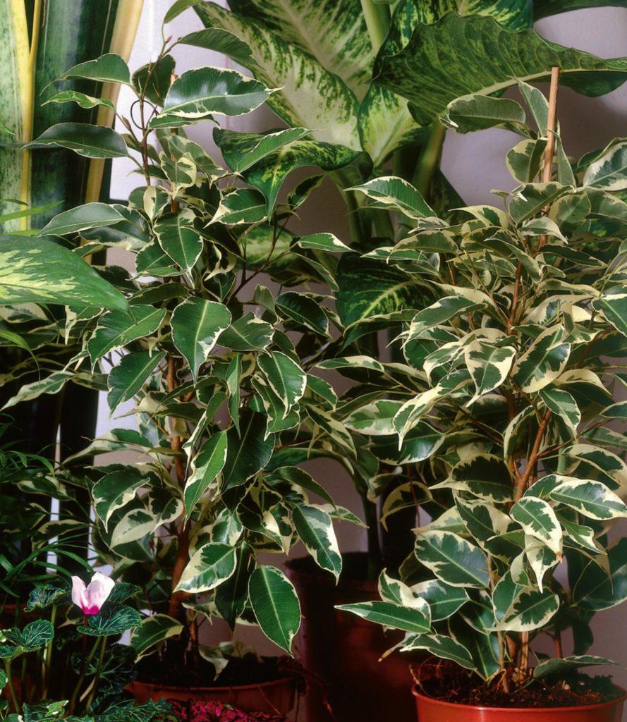 Piante Eleganti Da Appartamento ficus benjamina o beniamino, la pianta da appartamento