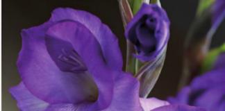 gladiolo bulbosa e rizomatosa