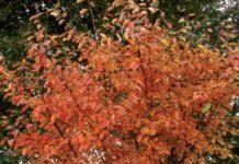 amelanchier foglie rosse autunno