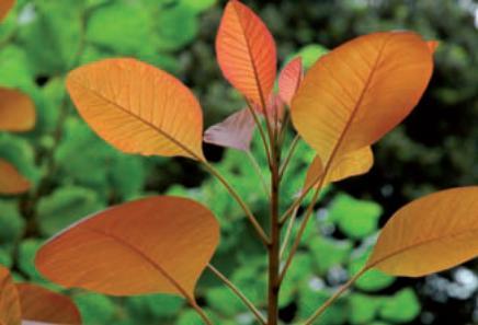 scotano foglie rosse