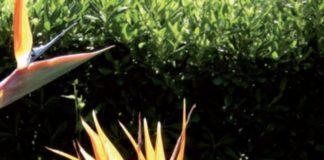 strelitzia uccello del paradiso