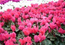 piante autunnali ciclamini