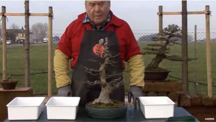 rinvaso bonsai caducifoglio