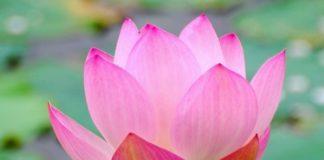loto piante e mitologia