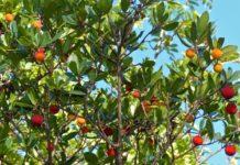 corbezzolo con fiori bianchi e frutti rossi