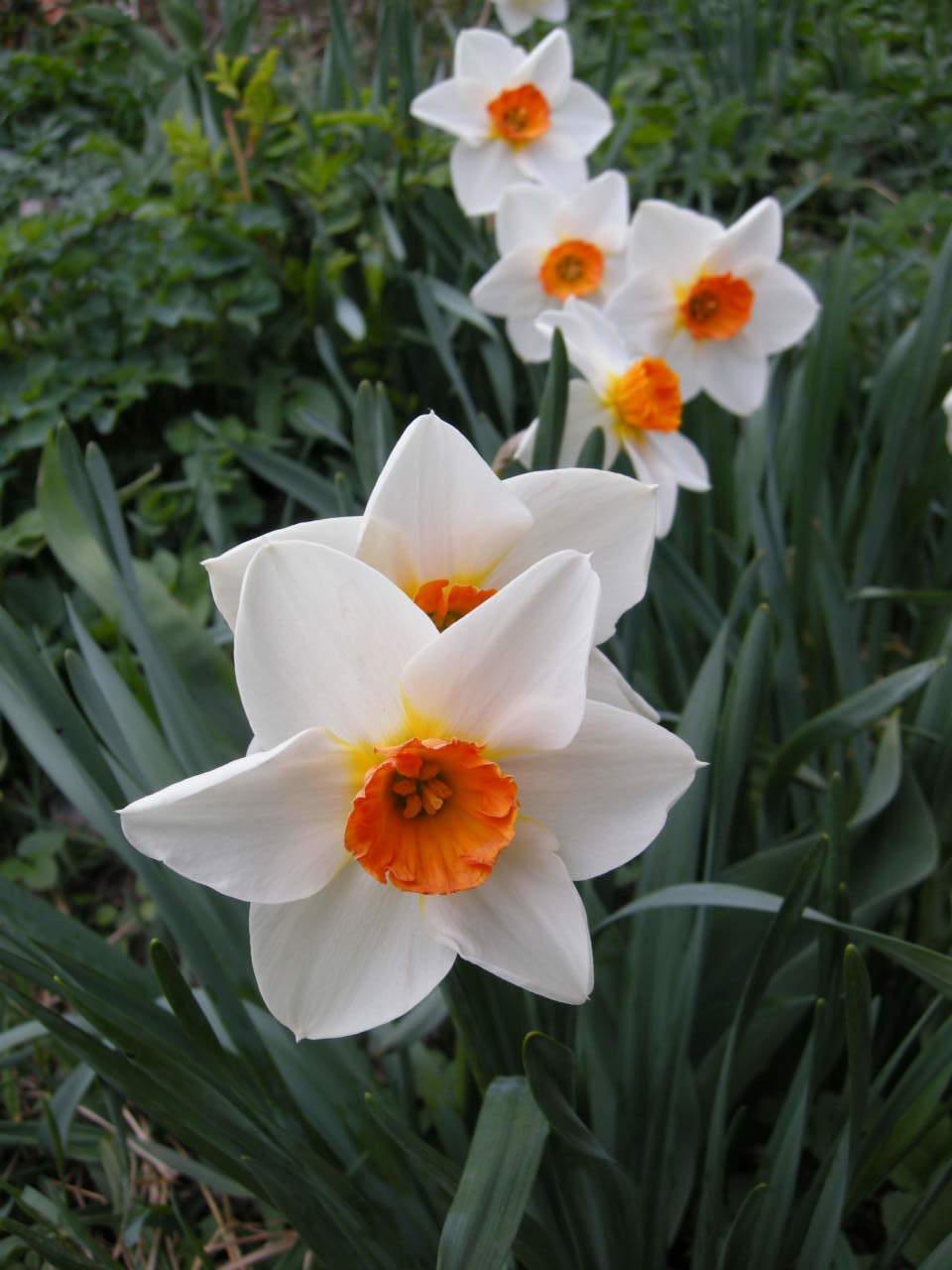 Fiori Gialli Simili Al Narciso.Narcisi Come Coltivarli In Giardino E In Vaso Passione In Verde