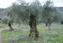 Olivi ben potati