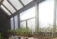 Piante tartufigene in serra
