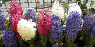 hyacinthus_cassetta