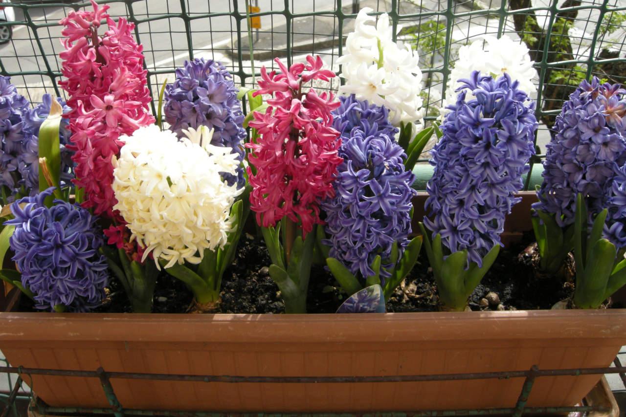 Piantare I Bulbi Di Tulipani come piantare i bulbi primaverili - passione in verde
