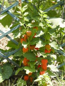 Frutti di alkekengi o chichinghero