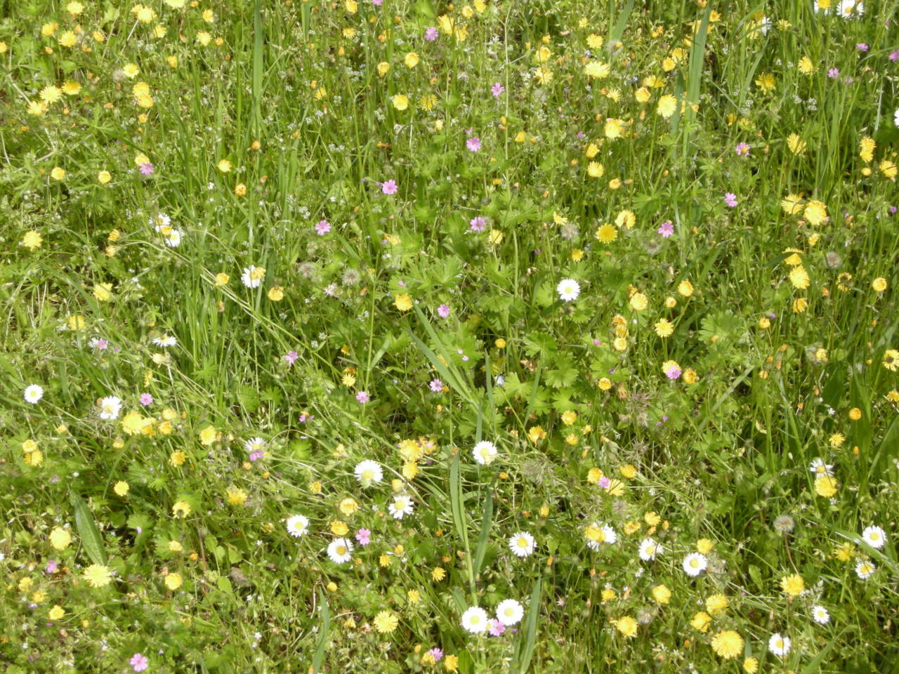 Manutenzione Prato Di Gramignone come eliminare le erbe infestanti dal prato - passione in verde