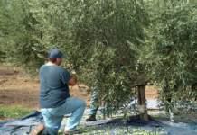 olive_raccolta