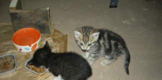 gattini infezione occhi