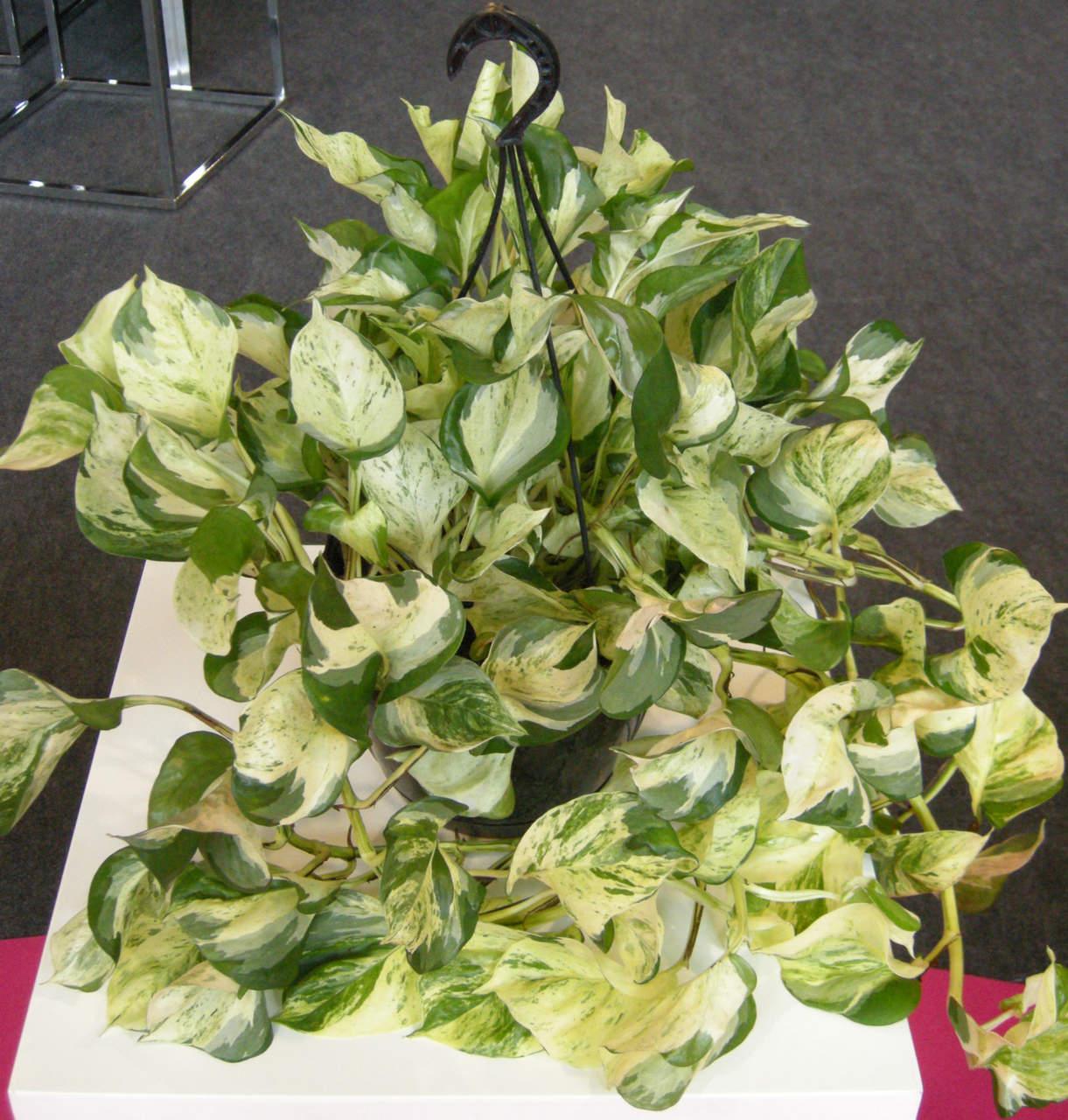 Piante Rampicanti Da Esterno potos: la pianta rampicante da appartamento - passione in verde