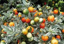 Solanum capsicastrum 'variegatum