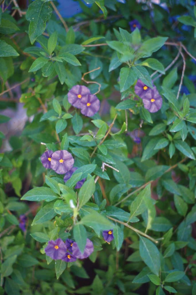 Solanum rantonettii