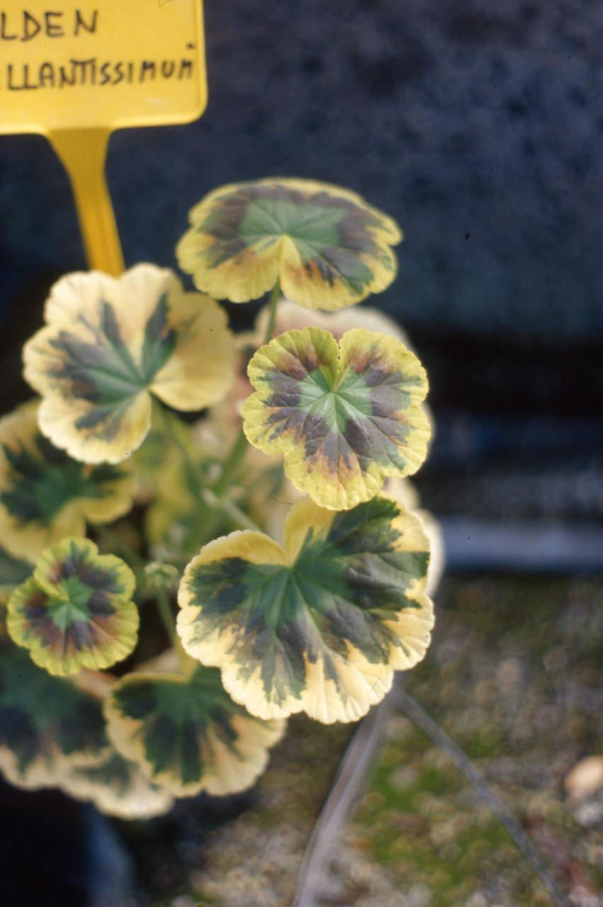virosi_Pelargonium