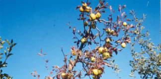 Scopazzi (virosi) su melo