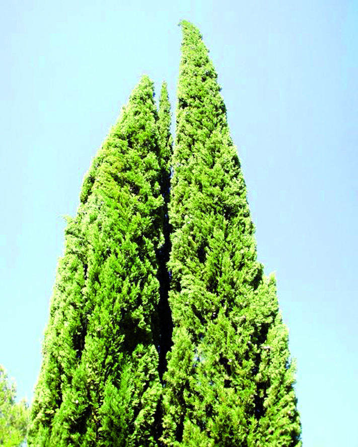 Cipressi della varietà pyramidalis
