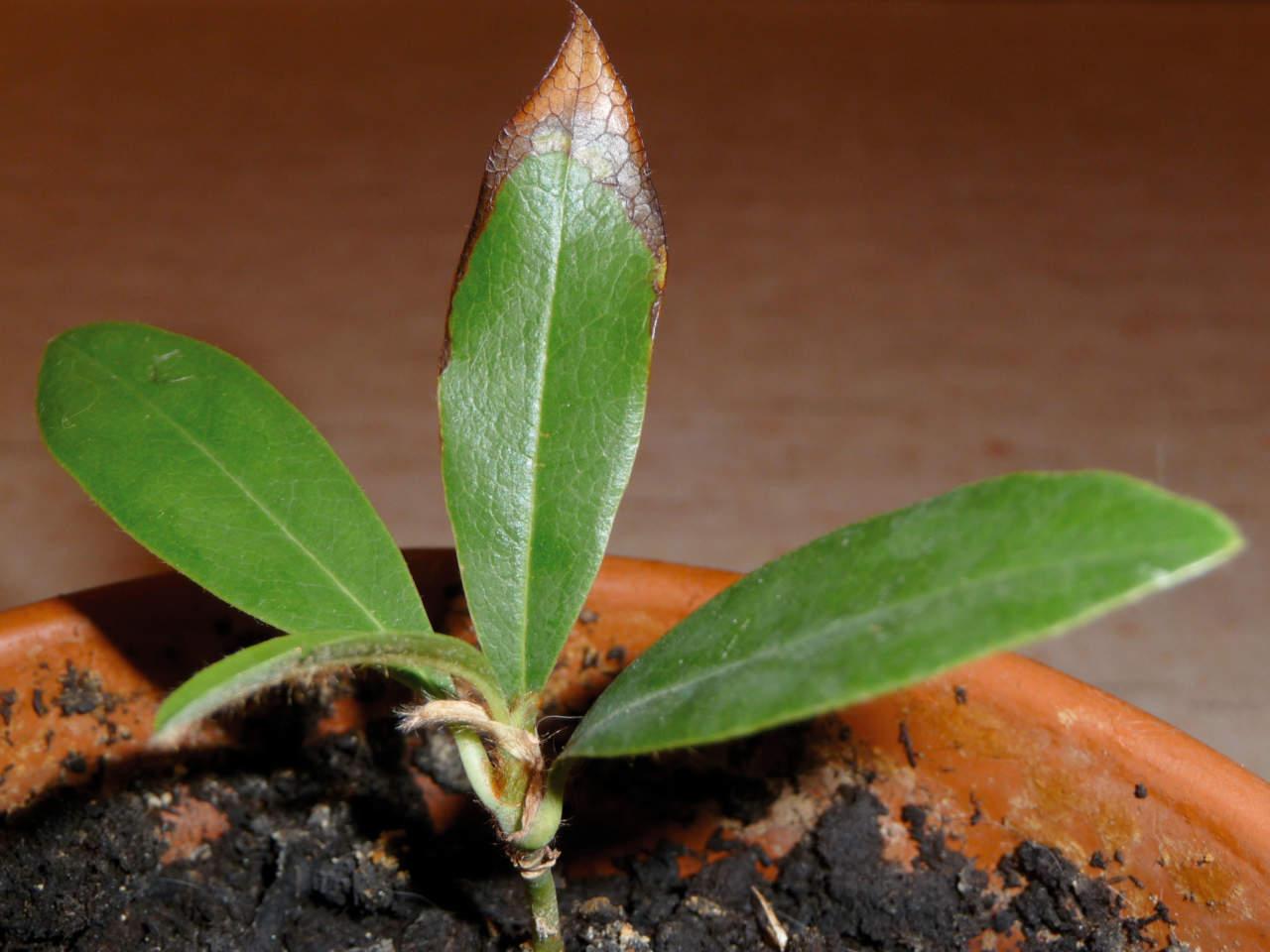 Fare Talee Di Oleandro talee di piante da giardino: come e quando farle - passione