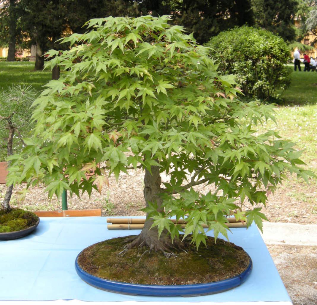 Bonsai di Acer palmatum