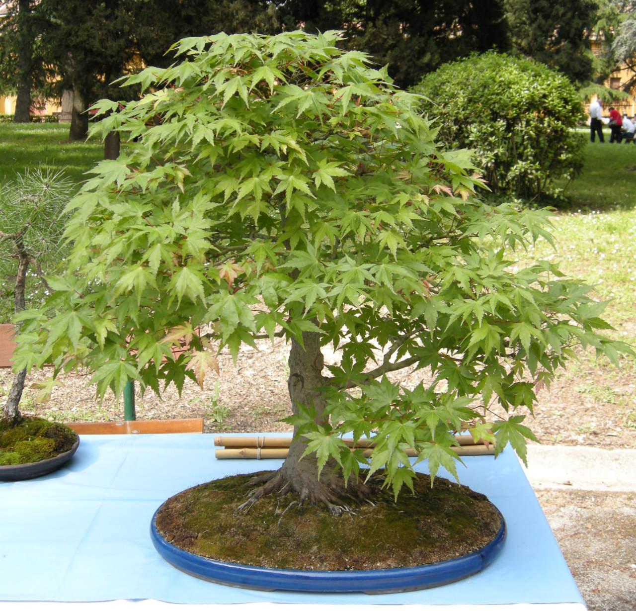 Alberi Nani Da Giardino bonsai da esterno: quali sono e come coltivarli - passione