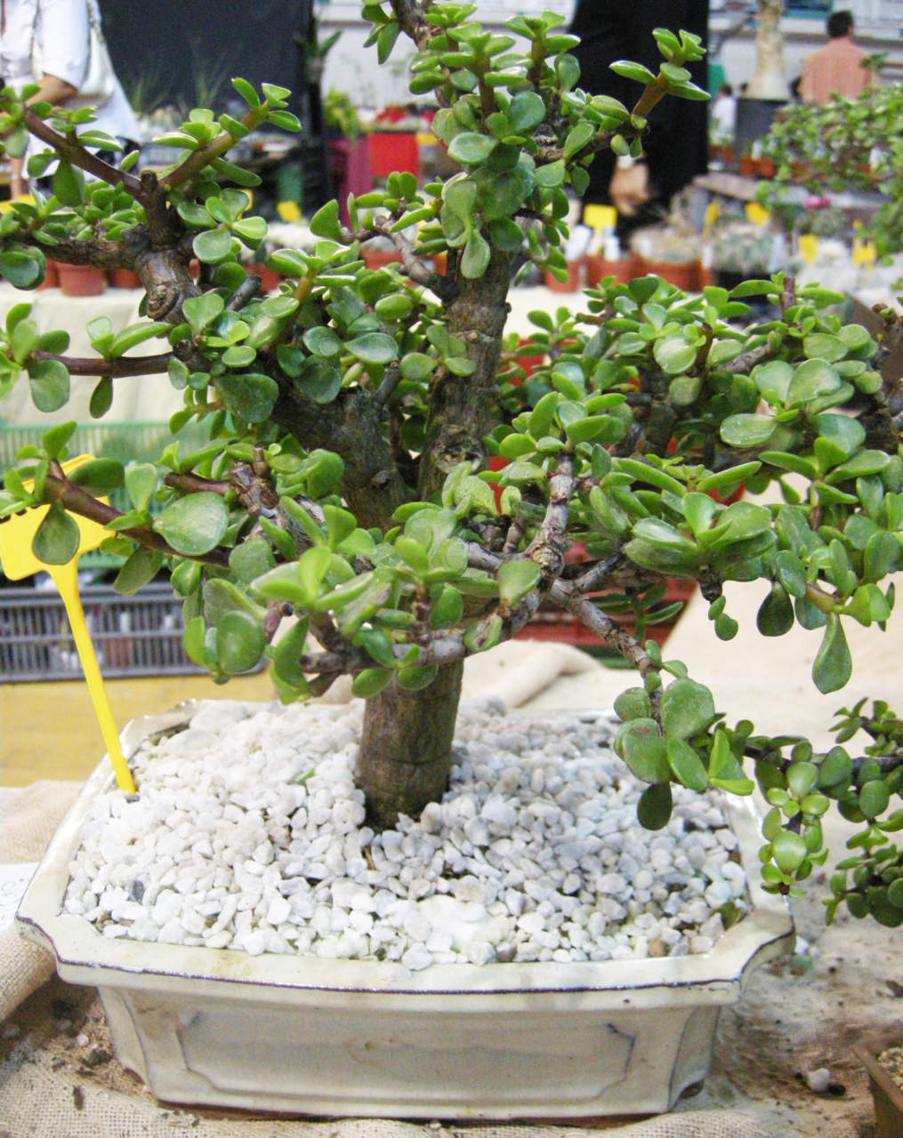 Bonsai di Crassula arborescens