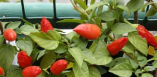 Peperoncino, pianta ornamentale sul balcone