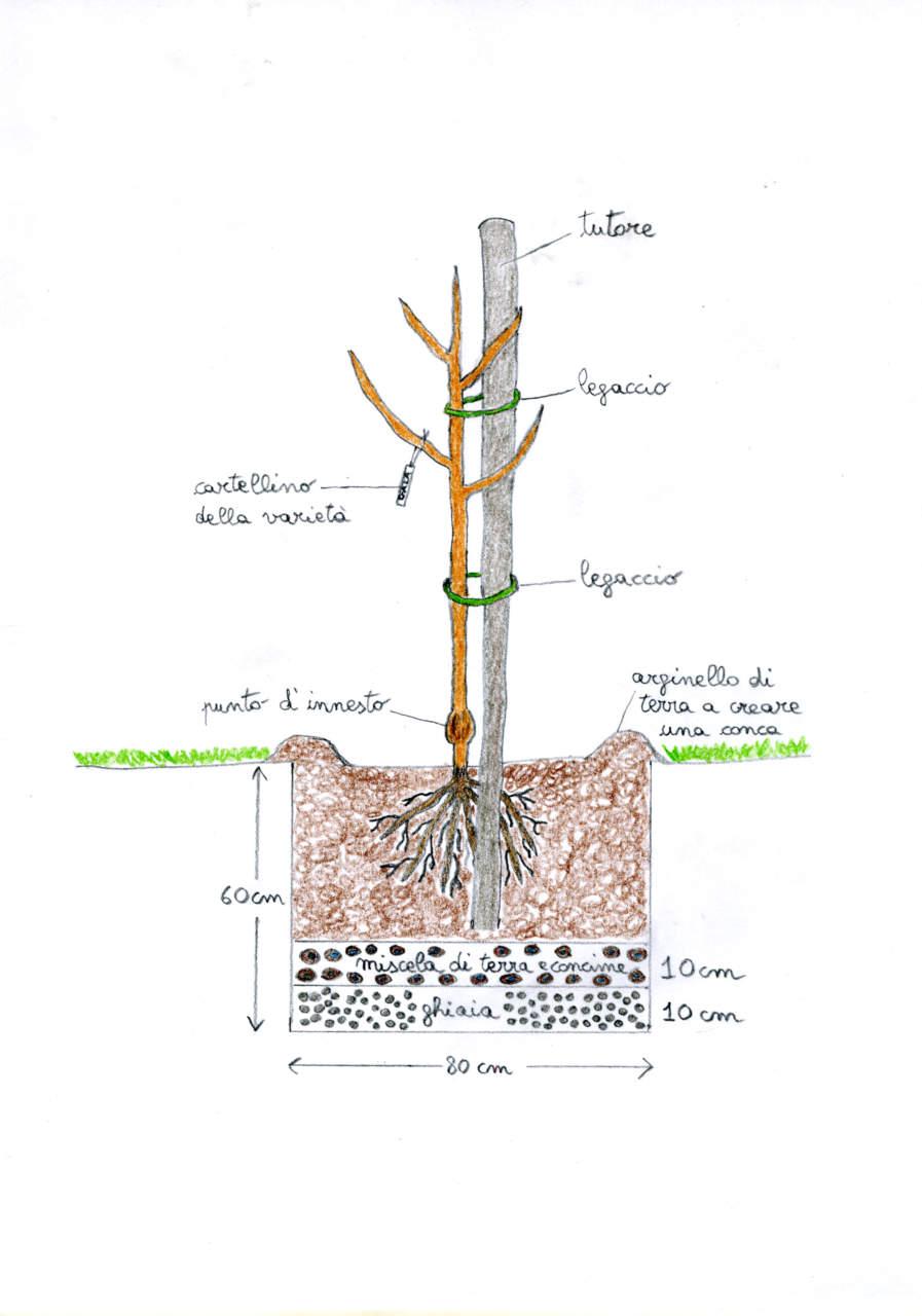 Alberi Ad Alto Fusto Quali Sono come piantare un albero in giardino o in vaso - passione in