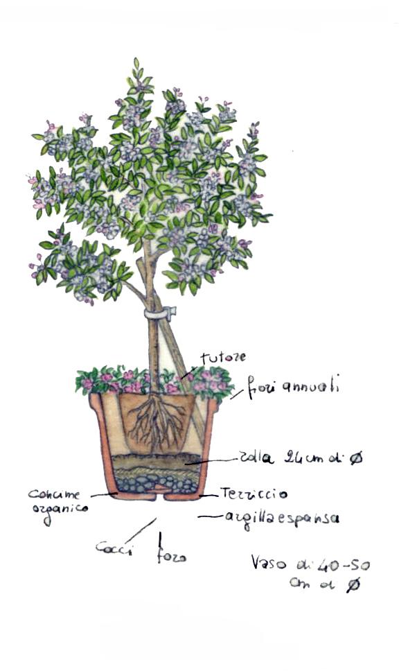 piantagione arbusto in vaso