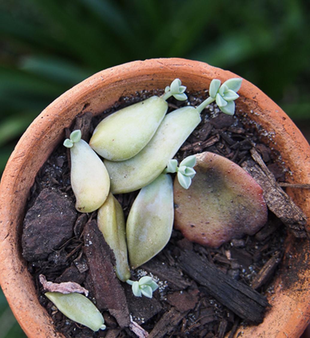 Come Far Morire Una Pianta talee di piante grasse: come e quando farle - passione in verde