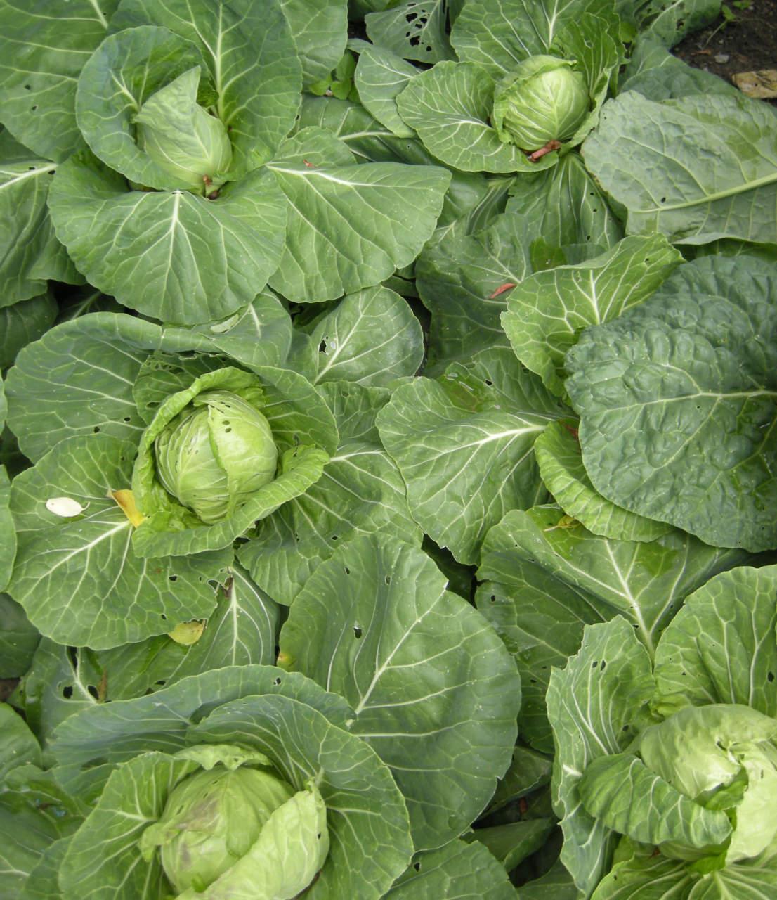 Pianta Cavolini Di Bruxelles come coltivare i cavoli, dal broccolo al cavolfiore