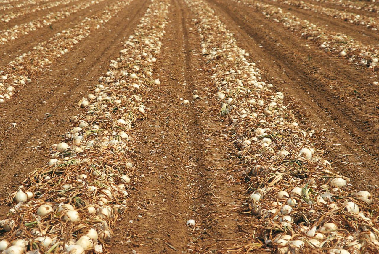 cipolle essiccazione in campo