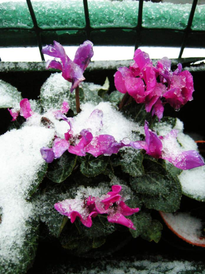 ciclamini sotto la neve