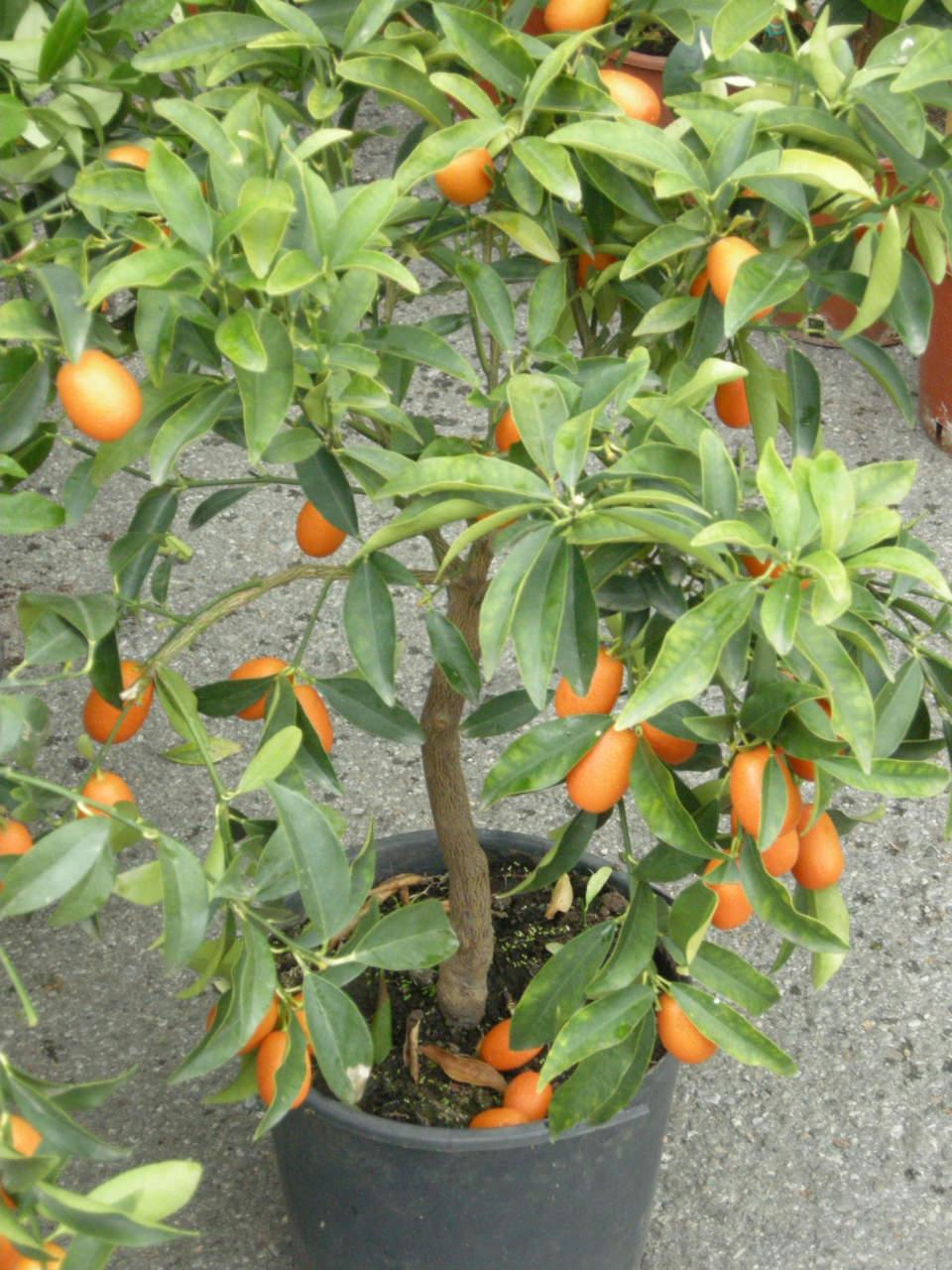 Come Potare A Palla il kumquat o fortunella o mandarino cinese - passione in verde