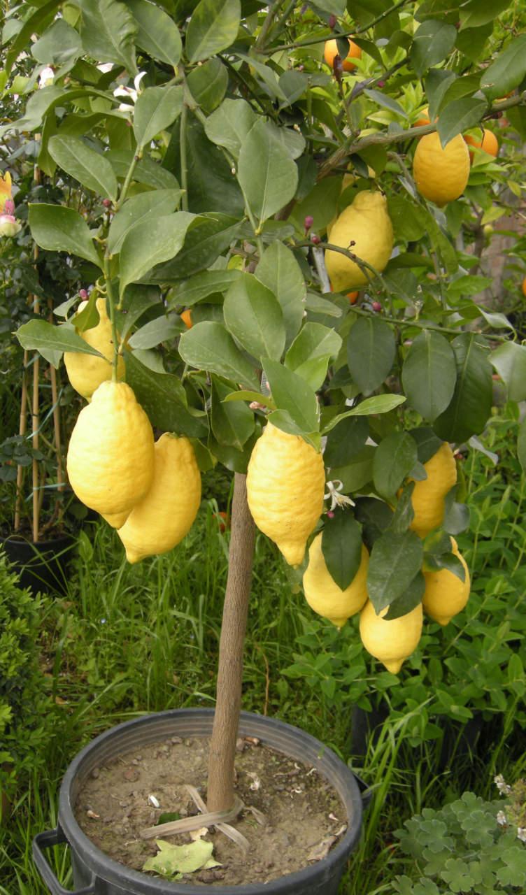 Alberi Ornamentali Da Giardino limone, come coltivarlo in giardino e in vaso - passione in