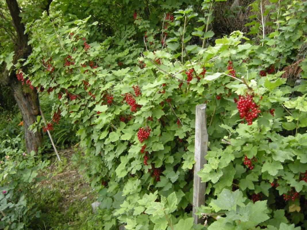 ribes rosso frutti di bosco