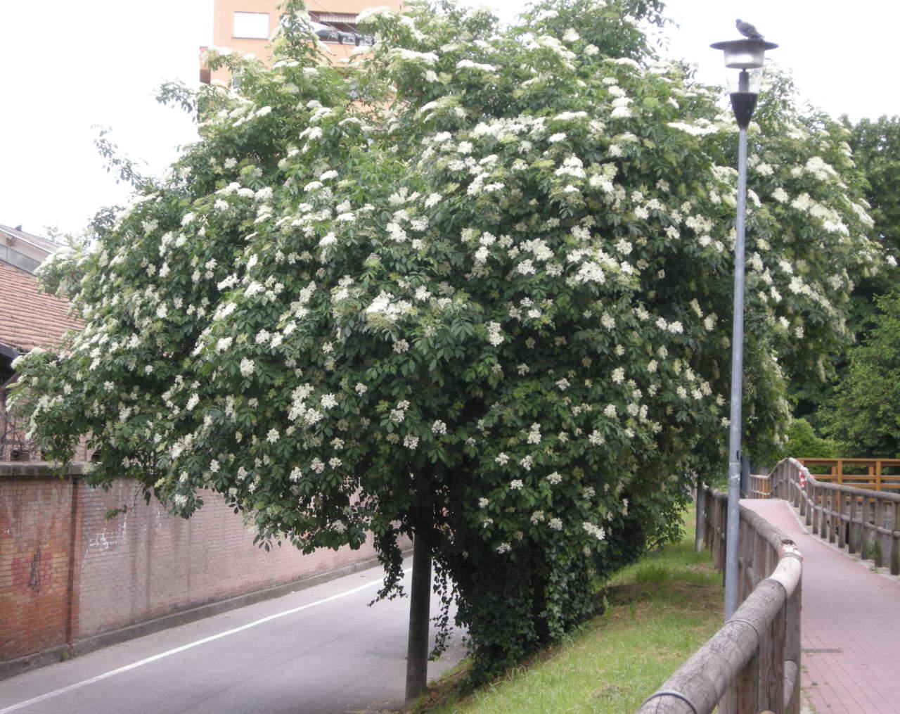 Come Far Morire Una Pianta sambuco: pianta facilissima da coltivare - passione in verde
