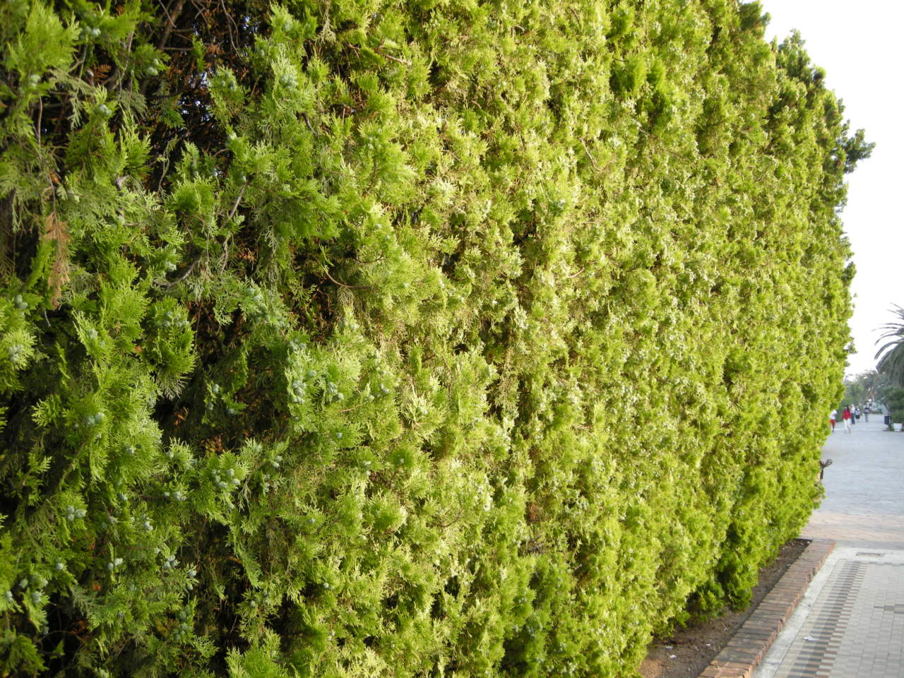 Piante Da Siepi Immagini tuia: per una siepe facile - passione in verde