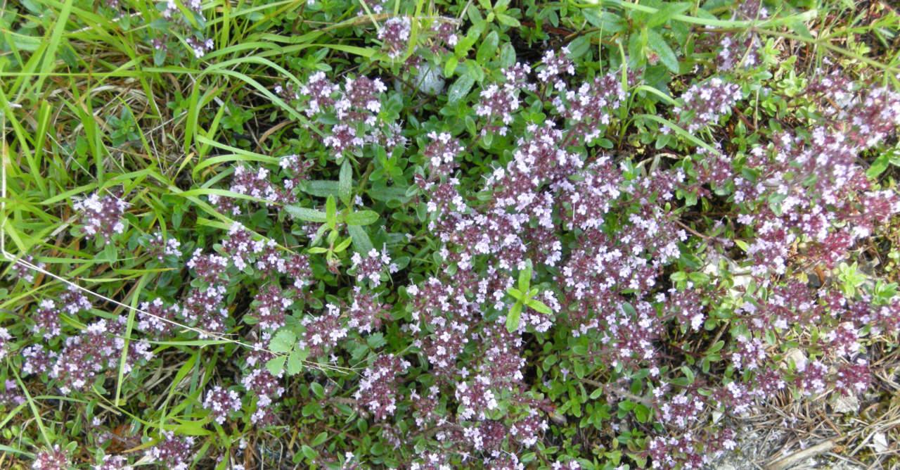 Piante Da Giardino Ombroso timo: una pianta da coltivare - passione in verde