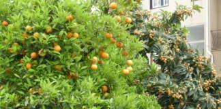 arancio e nespolo giapponese