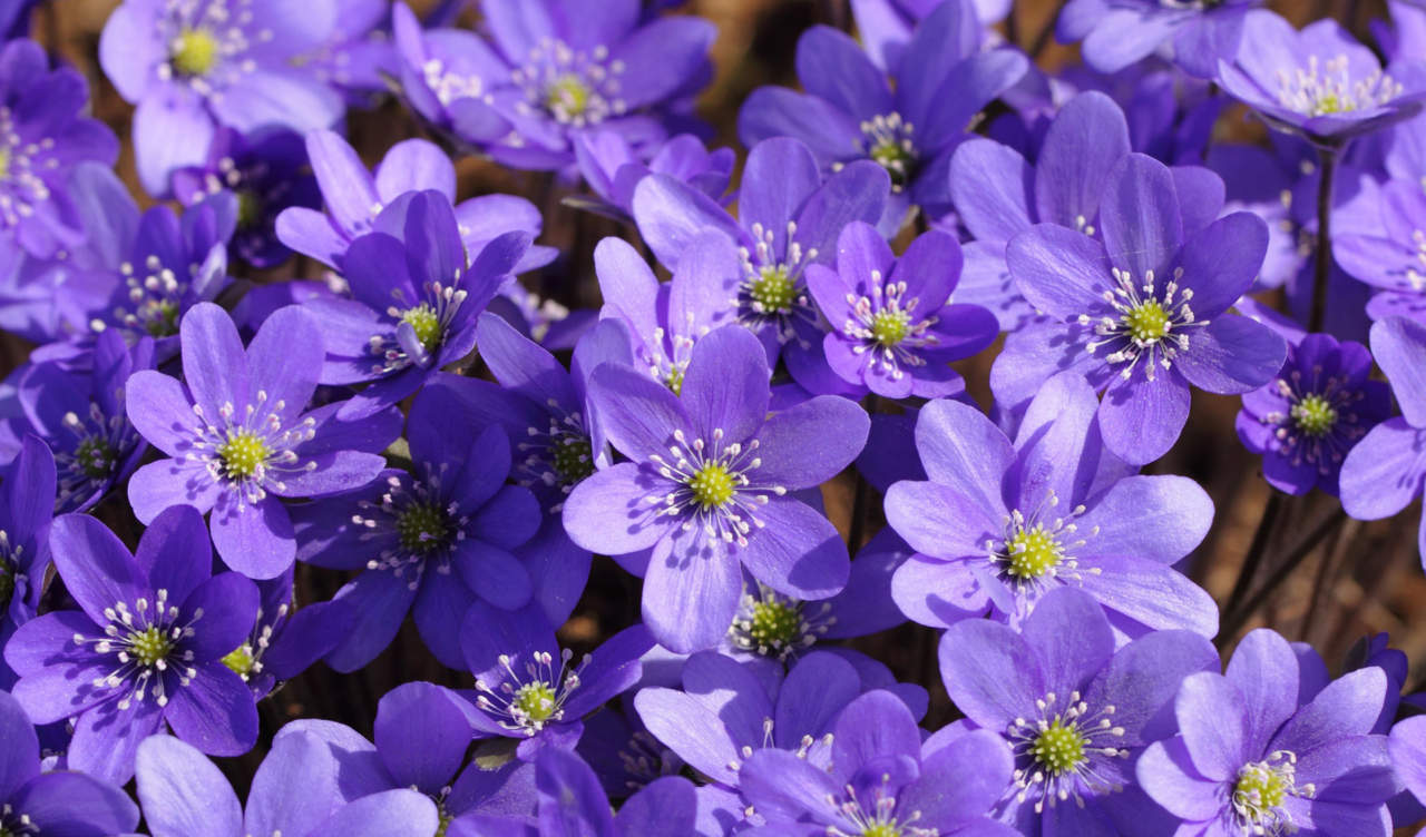 Fiori Da Giardino In Montagna flora spontanea di campagne e boschi in marzo-aprile (ii