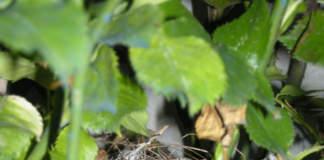 nido rosaio