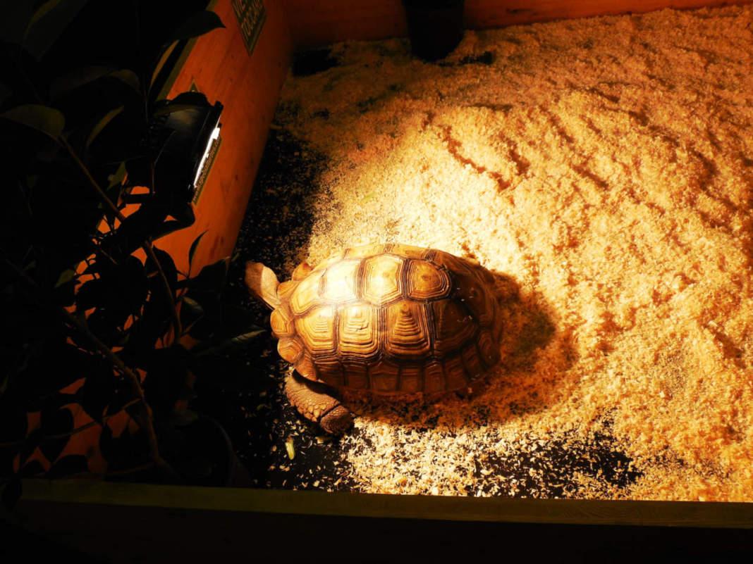 tartaruga letargo