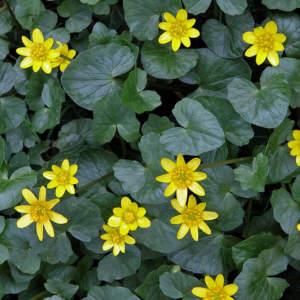 Fiori Spontanei Gialli.Flora Spontanea Di Campagne E Boschi In Marzo Aprile Ii Parte