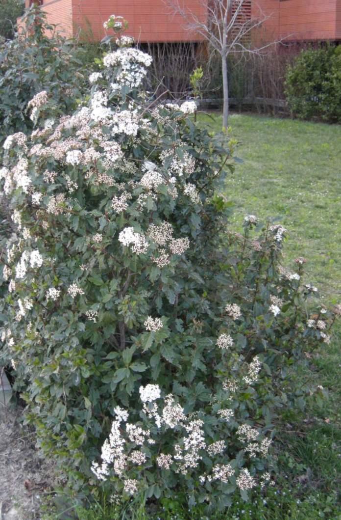 laurotino in giardino