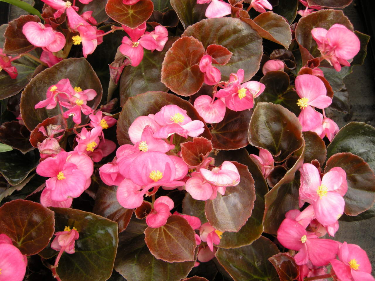 Fiori Da Balcone Ombra begonie da esterni, facilissime e in fiore a lungo